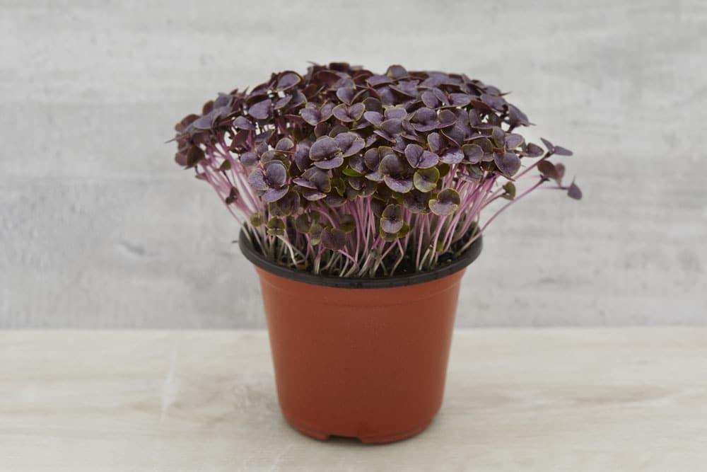 Basil Purple