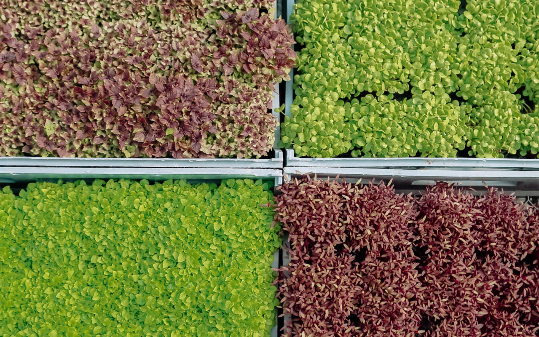 How to harvest, store and use Microgreens