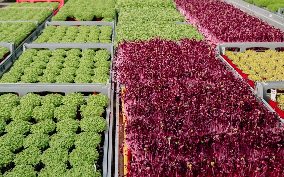 Microgreens – a nutritional phenomenon